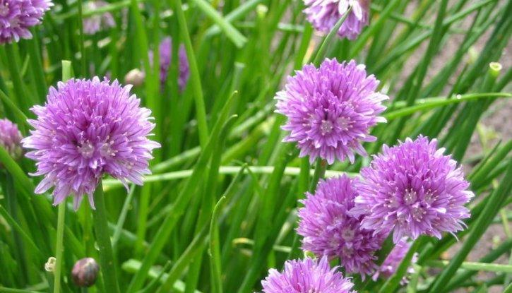 Снимка Сибирски лук - Резанец - Allium Schoenoprasum