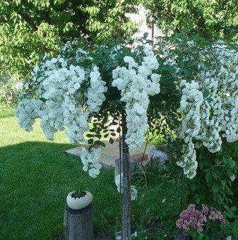 Бяла плачеща роза - Дърво 110 - 140 см....
