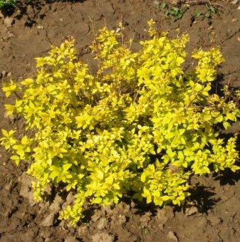 Жълт Берберис /Berberis thunbergii Aurea/