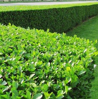 Лигуструм вечнозелен - Ligustrum Ovalifolium...