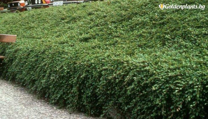Снимка Котонеастър Дамери Зелен килим - Cotoneaster Dammeri Green Carpet