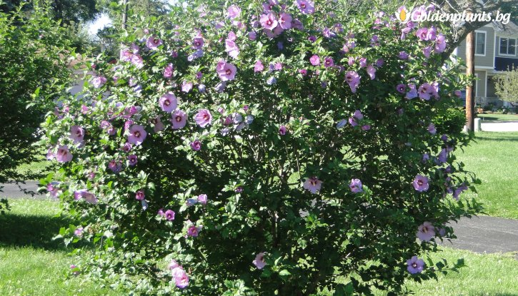 Снимка Хибискус Градински - Дървовидна Ружа - Hibiscus Syriacus