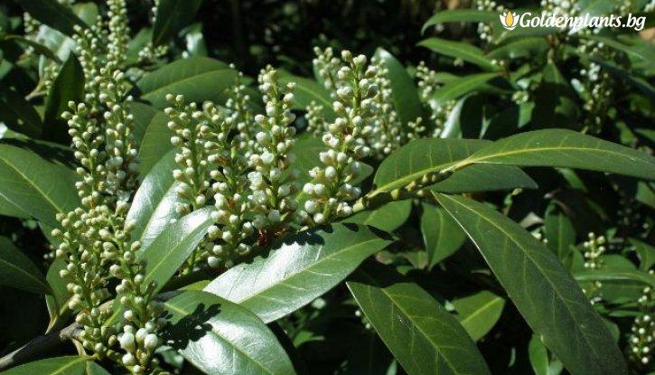 Снимка Лавровишна - Laurocerassus Officinalis