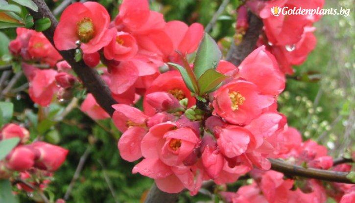 Снимка Японска дюля, Цидония Розова - Cidonia