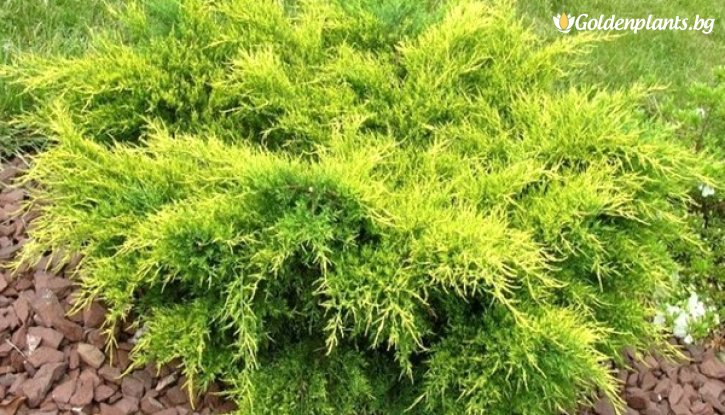 Снимка Юниперус Олд Голд - Juniperus Old Gold
