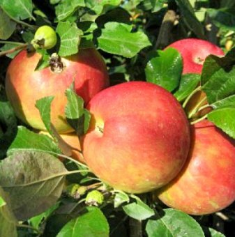 Ябълка сорт Мелроуз...