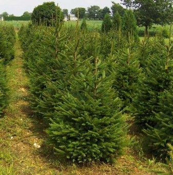 Коледно дръвче - Зелен Смърч / Picea Abies /