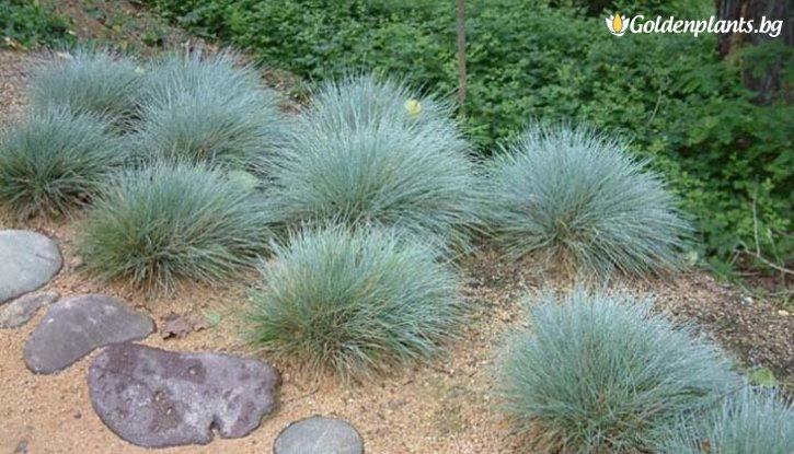 Снимка Фестука, синя трева - Festuca glauca
