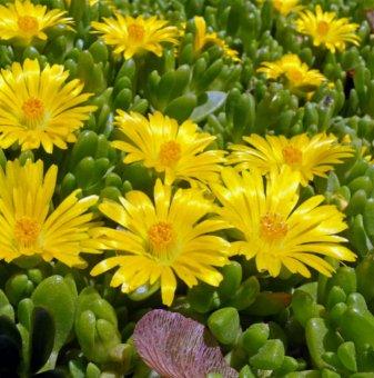 Делосперма жълта /Delosperma Yellow/