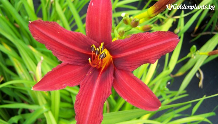 Снимка Хемерокалис Crimson Pirate - Hemerocallis Crimson Pirate