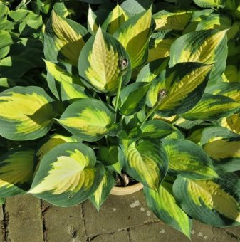 Хоста Orange Marmalade - Hosta Orange Marmalade