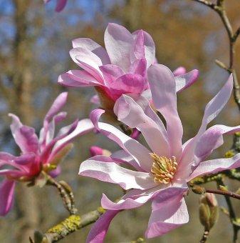 Магнолия loebneri Leonard Messel - Magnolia loebneri Leonard Messel..