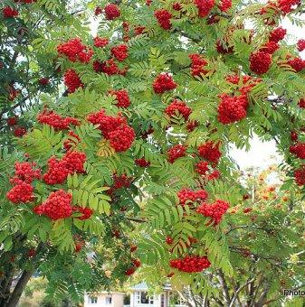 Офика, Самодивско дърво - Sorbus Aucuparia