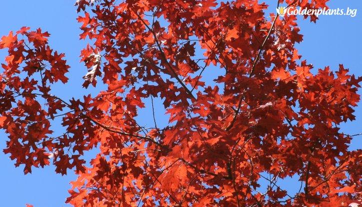 Снимка Червен дъб - Quercus Rubra
