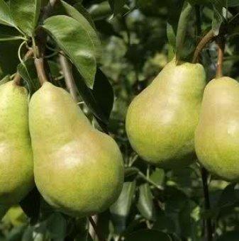 Круша сорт Вилямова Масловка / Pear William /...