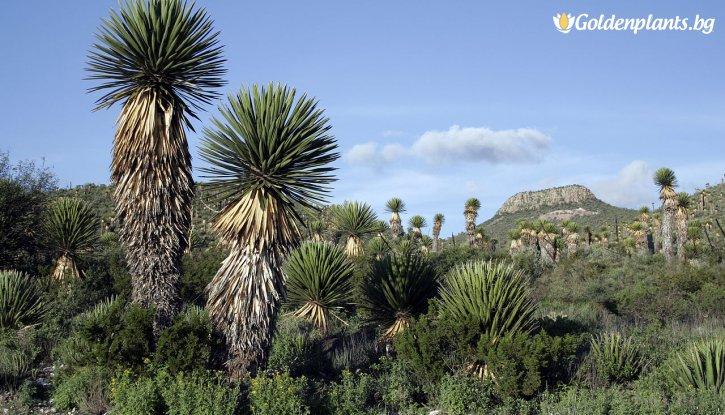 Снимка Юка 20-30 см. - Yucca