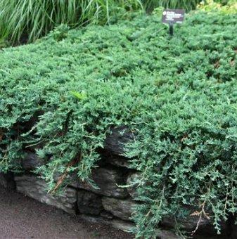 Юниперус Wiltonii - Juniperus Wiltonii