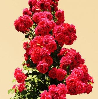 Роза червена катерлива в контейнер...