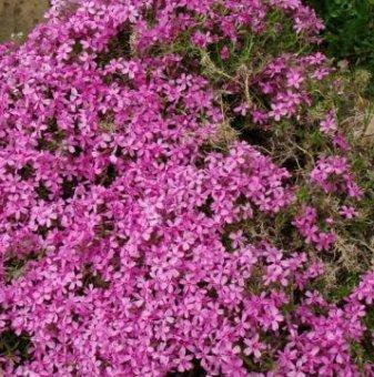 Алпийски Флокс розов...