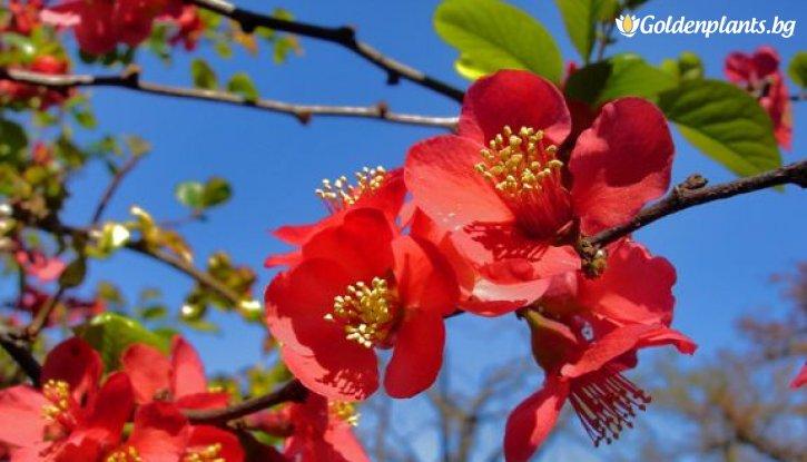 Снимка Японска дюля Crimson and Gold - Chaenomeles Crimson and Gold