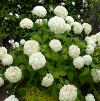 Хортензия 'Annabelle' / Hydrangea arborescens Annabelle /..