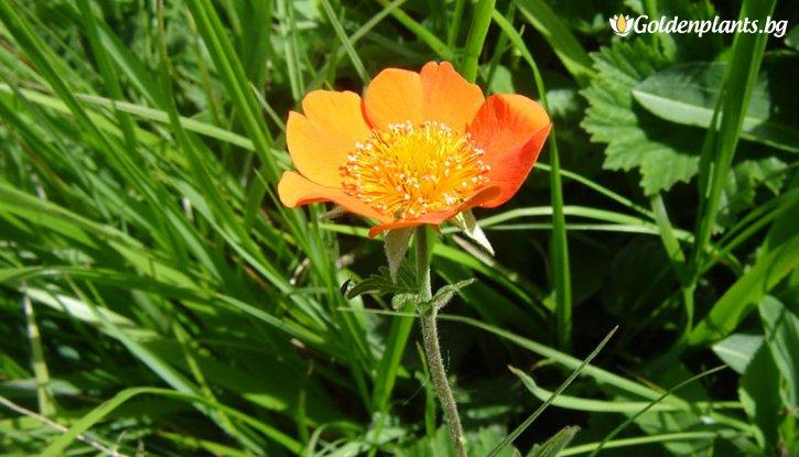 Снимка Омайниче оранжево - Geum