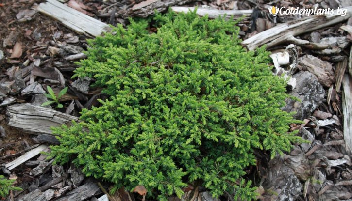 Снимка Юниперус Green Carpet - Juniperus Green Carpet