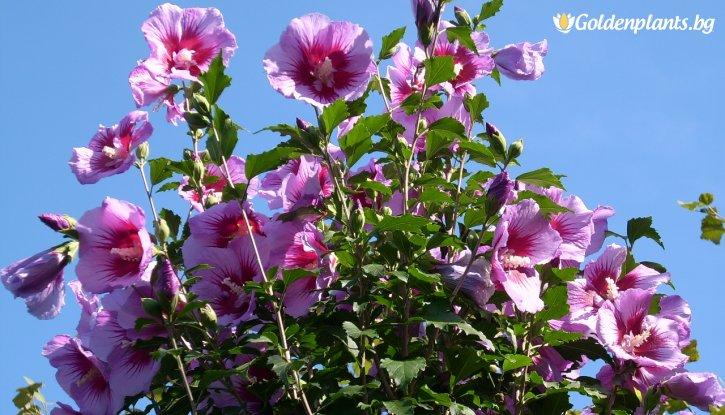 Снимка Градински Хибискус - 60-80см - Дървовидна Ружа - Hibiscus Syriacus