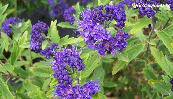 Снимка Кариоптерис - Caryopteris cland. Heavenly Blue