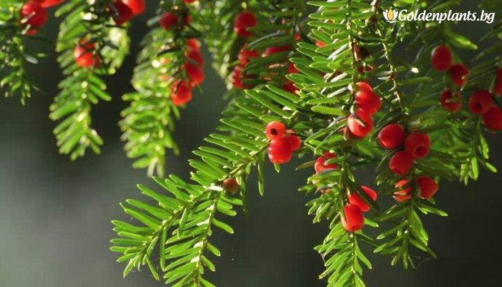 Снимка Тис, Таксус 20-30 см. - Taxus baccata fastigiata