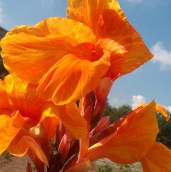 Индийска канна Оранжева Красота - Canna orange beauty..