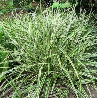 Японска тръстика - Карекс - Carex Morrowii