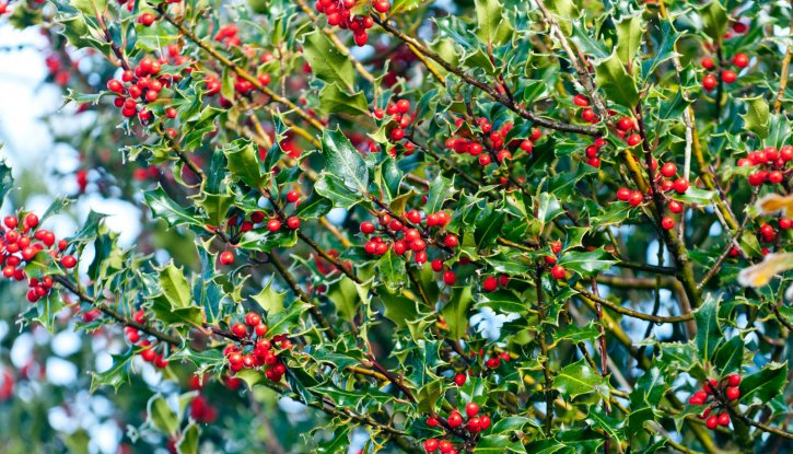 Снимка Джел Аляска, Илекс - Ilex Aquifolium Alaska