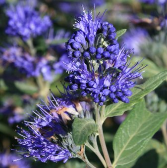 Кариоптерис - Caryopteris cland. Heavenly Blue