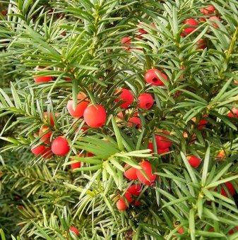 Тис, Таксус 20-30 см. - Taxus baccata fastigiata