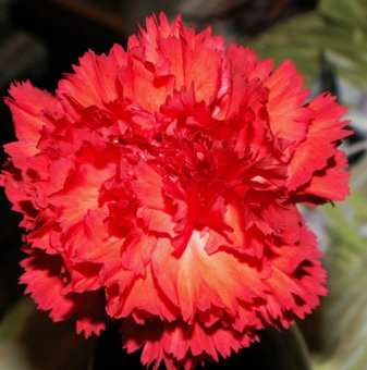 Карамфил червен - Dianthus...