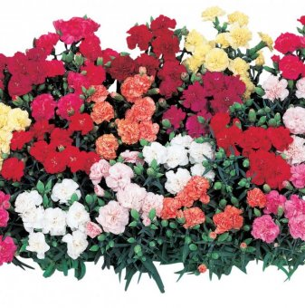 Карамфил микс - Dianthus Lillipot Mix