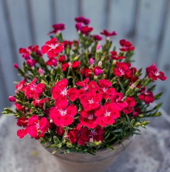 Карамфил - Dianthus Diantica Velvet...