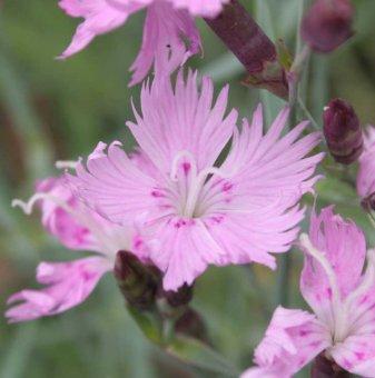 Карамфил Розов - Dianthus Pink