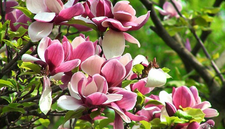 Магнолия Ломбардия Роуз - Magnolia Lombardy Rose