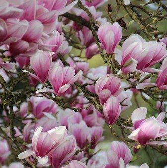 Магнолия Сара - Magnolia Sarah`s Favourite