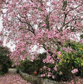Магнолия Иоланта - Magnolia Iolanthe
