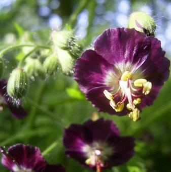 Здравец кафяв - Geranium phaeum