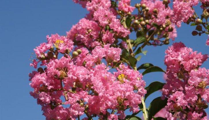 Снимка Индийски люляк Tъмнорозов - Lagerstroemia indica Rosea