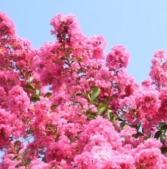 Индийски люляк Tъмнорозов - Lagerstroemia indica Rosea..