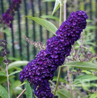 Будлея Лилава Black Knight, Летен люляк - Buddleia Black Knight..