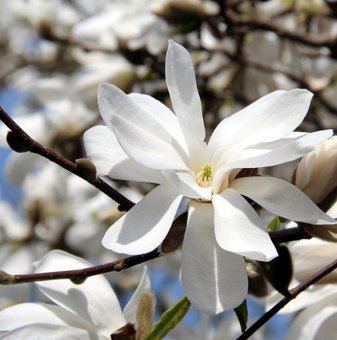 Магнолия loebneri Merrill - Magnolia loebneri Merrill..