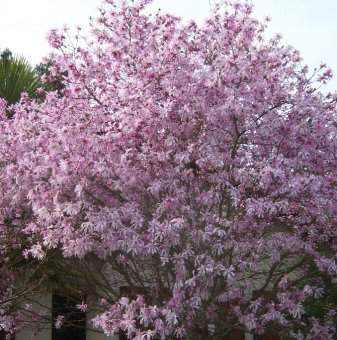 Магнолия Stellata Rosea - Magnolia Stellata Rosea