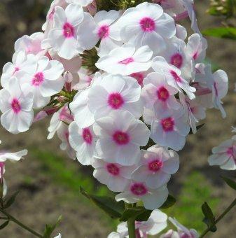 Флокс розово-бял - Phlox Alpina
