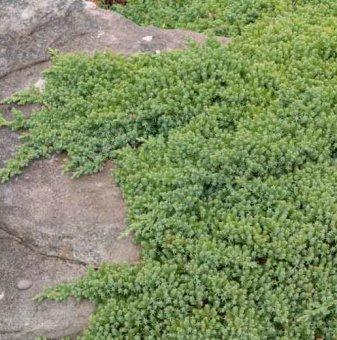 Юниперус  Nana - Juniperus Nana